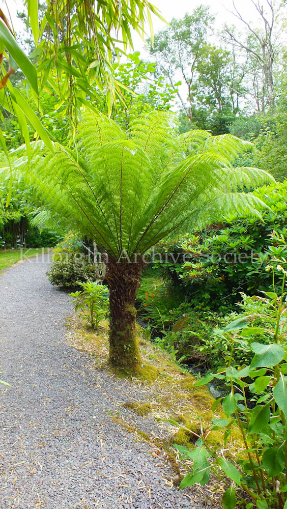 One of the exotic plants which thrive in the gardens at Ard na Sidhe because of the quality of the soil